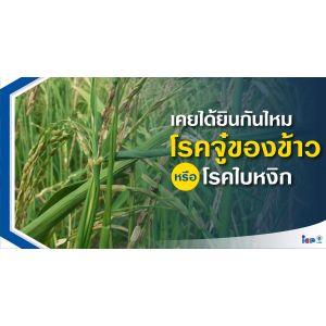 โรคใบหงิก หรือโรคจู๋ของข้าว  (Rice Ragged Stunt Disease)