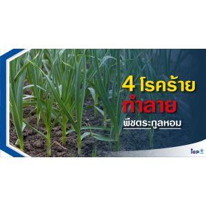 4 โรคร้ายทำลายพืชตระกูลหอม
