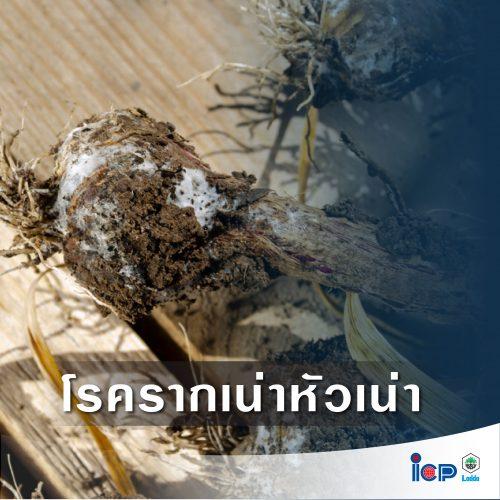 4 โรคร้ายทำลายพืชตระกูลหอม-07